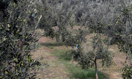 Alcuni Uliveti sui versanti del Monte Misma, in territorio di Scanzorosciate, Bergamo.