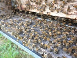 Le nostre api producono miele biologico lavorando sodo e con passione