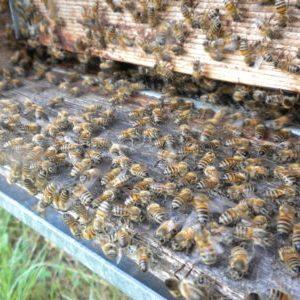 Le nostre api producono miele biologico crudo lavorando sodo e con passione