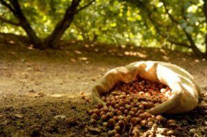 Miele e Nocciole: trenta grammi di nocciole al giorno riducono il rischio cardiovascolare.