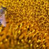 olioemiele-ape-fiore