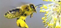 Polline delle api. Gli ultimi studi. Proprietà e benefici.