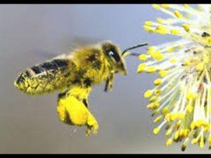 Polline delle api. Un'ape raccoglie il polline da un fiore e lo trasporta all'alveare.