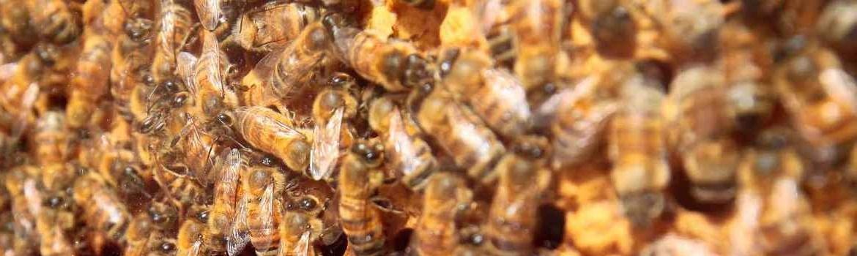Le api producono il miele biologico in ambienti incontaminati